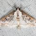 Palpita atrisquamalis - Photo (c) Ken-ichi Ueda,  זכויות יוצרים חלקיות (CC BY)