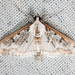 Gracile Palpita Moth - Photo (c) Ken-ichi Ueda, some rights reserved (CC BY)