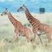 Girafa - Photo (c) Michal Sloviak, alguns direitos reservados (CC BY)