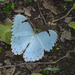 Morpho epistrophus argentinus - Photo (c) Martin Arregui, some rights reserved (CC BY-NC)