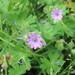 Geranium molle - Photo (c) Drew T Henderson, algunos derechos reservados (CC BY-NC)