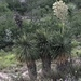 Beaked Yucca - Photo (c) Eglantina Canales, some rights reserved (CC BY-NC)