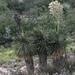 Yucca rostrata - Photo (c) Eglantina Canales, alguns direitos reservados (CC BY-NC)