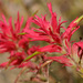 Castilleja linariifolia - Photo (c) Patrick Alexander, algunos derechos reservados (CC BY-NC-ND)