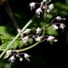 Tiarella trifoliata - Photo (c) M.E. Sanseverino, algunos derechos reservados (CC BY-NC-ND)