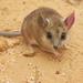 Sminthopsis crassicaudata - Photo (c) Jo Virens, algunos derechos reservados (CC BY-NC)