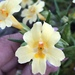 Rock Bush Monkeyflower - Photo (c) Aaron Echols, some rights reserved (CC BY-NC)