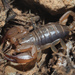 Cretan Small Wood-Scorpion - Photo (c) Felix Riegel, some rights reserved (CC BY-NC)