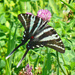 Zebra Swallowtail - Photo (c) Larry Meade, some rights reserved (CC BY-NC-SA)