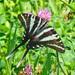 Eurytides marcellus - Photo (c) Larry Meade, osa oikeuksista pidätetään (CC BY-NC-SA)