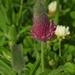 Trifolium purpureum - Photo (c) Yael Orgad, algunos derechos reservados (CC BY-NC)