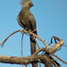 Grey Go-Away-Bird - Photo (c) Nik Borrow, some rights reserved (CC BY-NC)