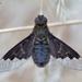Hemipenthes morio - Photo (c) Marcello Consolo, alguns direitos reservados (CC BY-NC-SA)