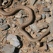 Forskal Sand Snake - Photo (c) Khalid Ben Kaddour, some rights reserved (CC BY-NC-ND)