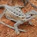 Ctenophorus reticulatus - Photo (c) Jo Virens, algunos derechos reservados (CC BY-NC)