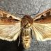 Euxoa castanea - Photo (c) Doug Macaulay, algunos derechos reservados (CC BY-NC)