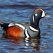 Harlequin Duck - Photo (c) Игорь Двуреков, some rights reserved (CC BY-NC)