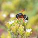 Megachile euzona - Photo (c) pedro vargas, μερικά δικαιώματα διατηρούνται (CC BY-NC)