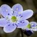 Anemoneae - Photo (c) bobkennedy, osa oikeuksista pidätetään (CC BY-SA)
