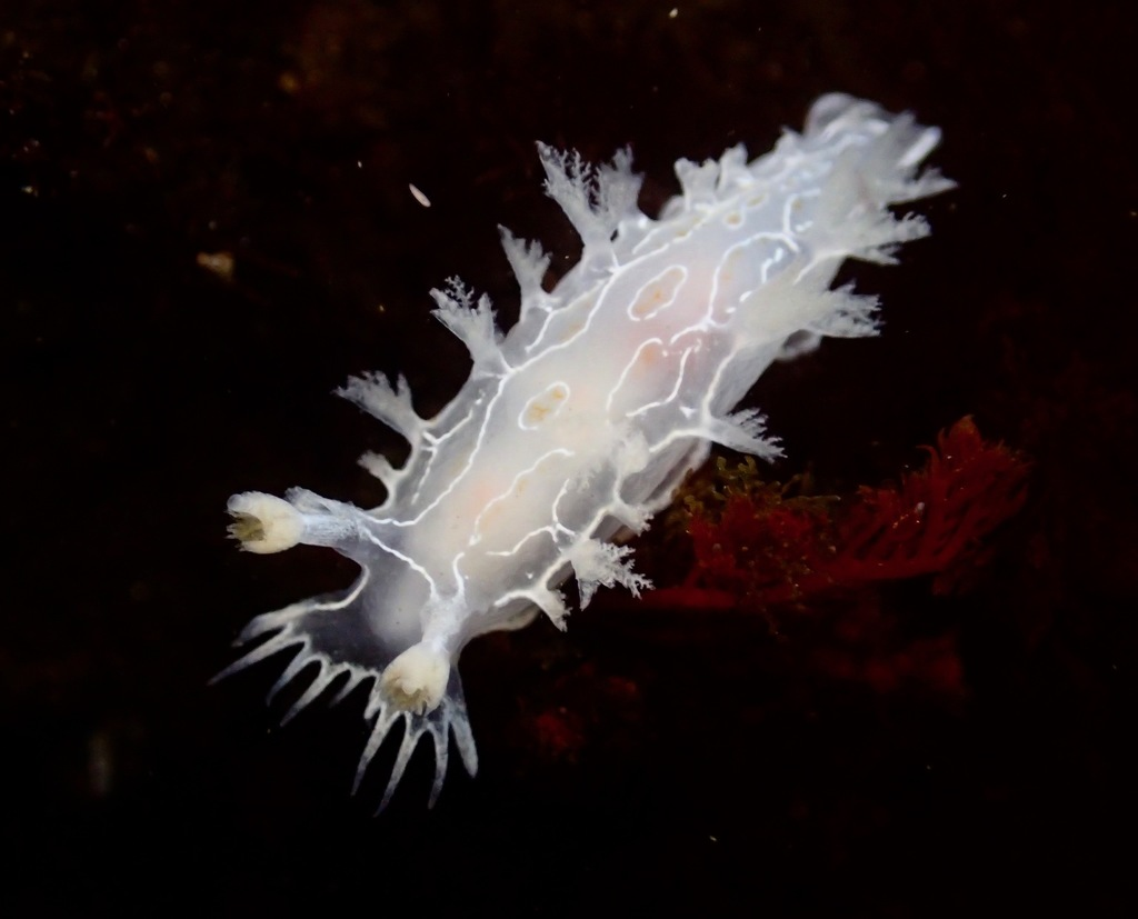 Triton Seaslugs - Photo (c) Alex Bairstow, some rights reserved (CC BY-NC)