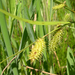Carex hystericina - Photo (c) Jay Sturner, μερικά δικαιώματα διατηρούνται (CC BY)