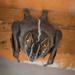 White-lined Broad-nosed Bat - Photo (c) Eden Fontes, some rights reserved (CC BY-NC)