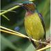 Anthreptes malacensis - Photo (c) Christian Artuso, μερικά δικαιώματα διατηρούνται (CC BY-NC-ND)