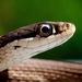 Peninsula Ribbon Snake - Photo (c) Janson Jones, some rights reserved (CC BY-NC)