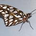 Mariposas de Manchas Plateadas - Photo (c) Lauren Zárate, algunos derechos reservados (CC BY-NC)