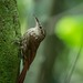 Xiphorhynchus fuscus - Photo (c) Eden Fontes,  זכויות יוצרים חלקיות (CC BY-NC)