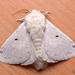 Macromphalia - Photo (c) pedro vargas,  זכויות יוצרים חלקיות (CC BY-NC)