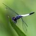 Brachydiplax farinosa - Photo (c) Vijay Anand Ismavel,  זכויות יוצרים חלקיות (CC BY-NC-SA), uploaded by Dr. Vijay Anand Ismavel MS MCh