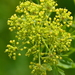 Prairie Parsley - Photo (c) Mark Kluge, some rights reserved (CC BY-NC-ND)