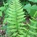 Athyrium asplenioides - Photo (c) jada_adams, algunos derechos reservados (CC BY-NC)