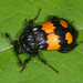 Lesser Vespillo Burying Beetle - Photo (c) salvatore_infanti, some rights reserved (CC BY-NC)