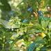 Psychotria sylvivaga - Photo (c) Lena Struwe, algunos derechos reservados (CC BY-NC)