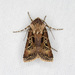 Agrotis gravis - Photo (c) Jim Johnson, some rights reserved (CC BY-NC-ND)