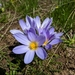 Crocuses - Photo (c) transcaucasiantrail, some rights reserved (CC BY-NC)