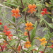San Diego Monkeyflower - Photo (c) James Bailey, some rights reserved (CC BY-NC)