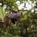 Rhamnomia dubia - Photo (c) tsungyu88, osa oikeuksista pidätetään (CC BY-NC)