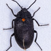 Escarabajos de la Madera - Photo (c) ksandsman, algunos derechos reservados (CC BY)