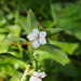 Sauvagesia erecta - Photo (c) Lena Struwe, algunos derechos reservados (CC BY-NC)