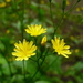 Nipplewort - Photo (c) Serge M. Appolonov, some rights reserved (CC BY-NC)