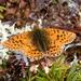 Boloria alaskensis - Photo (c) Stephen_WV, algunos derechos reservados (CC BY-NC-ND)