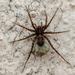 Arañas Lobo de Patas Delgadas - Photo (c) Cédric Mondy, algunos derechos reservados (CC BY-NC)