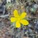 Hypericum concinnum - Photo (c) Alison Young, algunos derechos reservados (CC BY-NC)