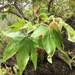 Western Sycamore - Photo (c) Chris Cameron, some rights reserved (CC BY-NC)