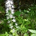 Tiarella cordifolia - Photo (c) toddtracks, algunos derechos reservados (CC BY-NC), uploaded by Todd Belanger