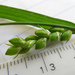 Carex grisea - Photo (c) Cathy Murray, algunos derechos reservados (CC BY-NC)