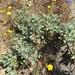 Eriogonum prattenianum - Photo (c) pricklypearradio, algunos derechos reservados (CC BY-NC)